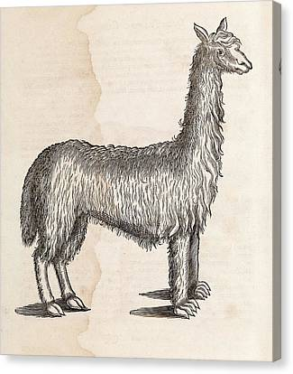 South American Camelid Canvas Print by Middle Temple Library