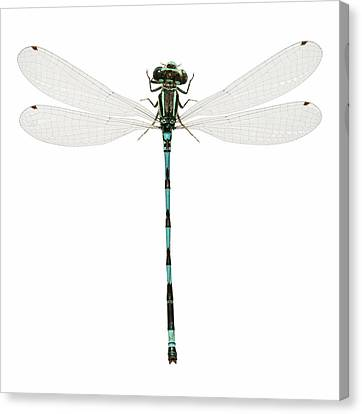 Southern Damselfly Canvas Print by Natural History Museum, London