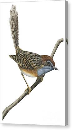 Southern Emu Wren Canvas Print by Anonymous
