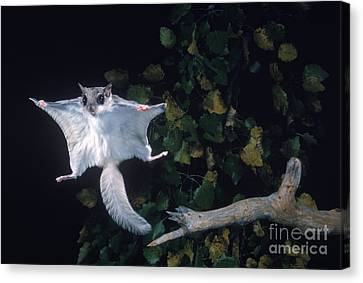 Southern Flying Squirrel Canvas Print by Nick Bergkessel Jr