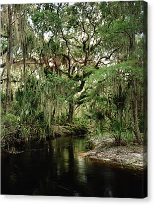 Spanish Moss And Oak. Three Lakes W.m.a. Canvas Print by Chris  Kusik