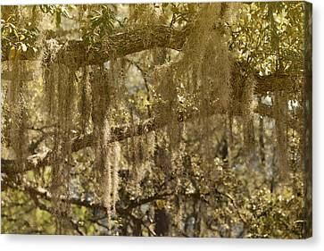 Spanish Moss On Live Oaks Canvas Print by Christine Till