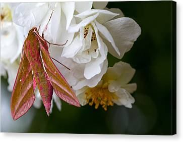 Sphinx Moth On A Rose Canvas Print by Mr Bennett Kent