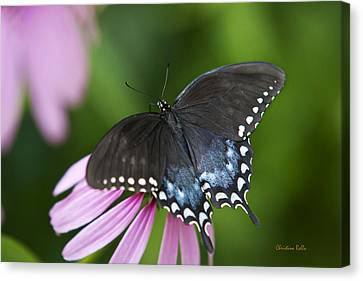 Spice Of Life Butterfly Canvas Print by Christina Rollo