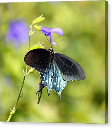 Spicebush Swallowtail Butterfly In Pastel Canvas Print by Suzanne Gaff