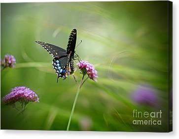Spicebush Swallowtail Butterfly Canvas Print by Karen Adams