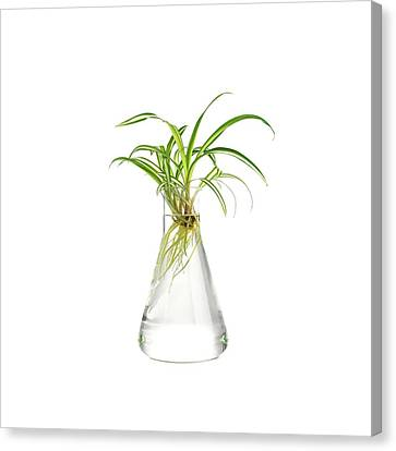 Spider Plant Rooting Canvas Print by Science Photo Library