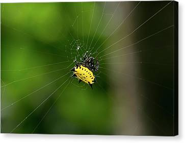 Spiny Orbweaver Spider Canvas Print by Nicolas Reusens