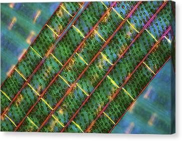 Spirogyra Algae, Light Micrograph Canvas Print by Science Photo Library