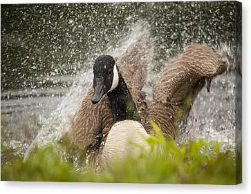 Splishing And Splashing Canvas Print by Karol Livote