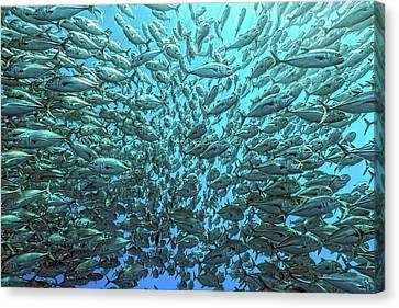 Splitted School Of Jackfish Canvas Print by Henry Jager