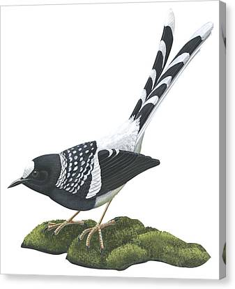 Spotted Forktail Canvas Print by Anonymous