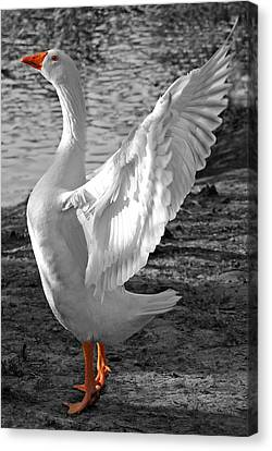 Spread Your Wings B And W Canvas Print by Lisa Phillips