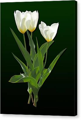 Spring - Backlit White Tulips Canvas Print by Susan Savad