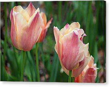 Spring Beauty IIi Canvas Print by Suzanne Gaff