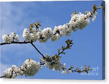 Spring Blossoms 6 Canvas Print by Carol Lynch