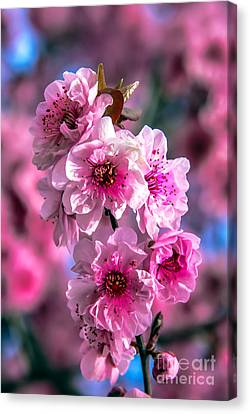 Spring Blossoms Canvas Print by Robert Bales