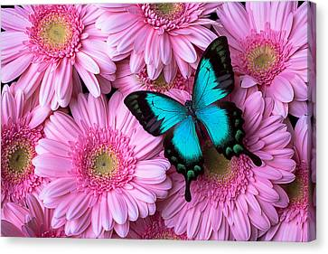 Spring Blue Butterfly Canvas Print by Garry Gay