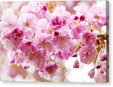 Spring Cherry Blossoms  Canvas Print by Elena Elisseeva