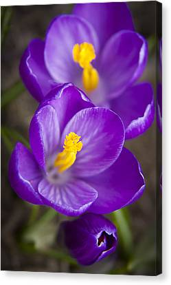 Spring Crocus Canvas Print by Adam Romanowicz