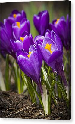 Spring Crocus Bloom Canvas Print by Adam Romanowicz