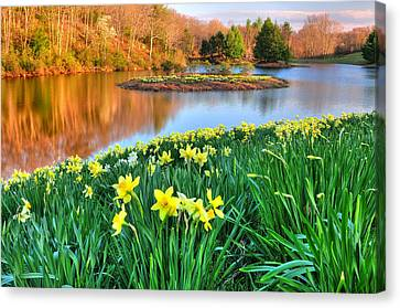 Spring Daffodils At Laurel Ridge-connecticut  Canvas Print by Thomas Schoeller