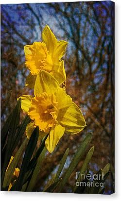 Spring Daffodils  Canvas Print by Brian Roscorla