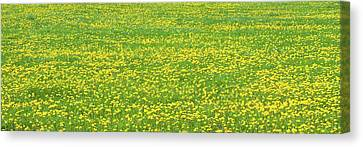 Spring Farm Panorama With Dandelion Bloom In Maine Canvas Poster Print Canvas Print by Keith Webber Jr