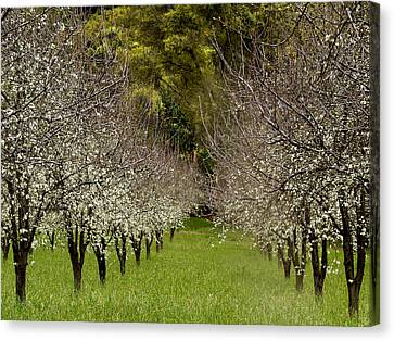 Spring Has Sprung Canvas Print by Bill Gallagher