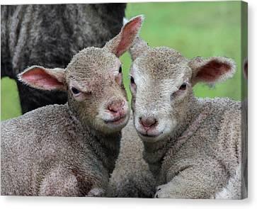 Spring Lambs Canvas Print by Pete Hemington