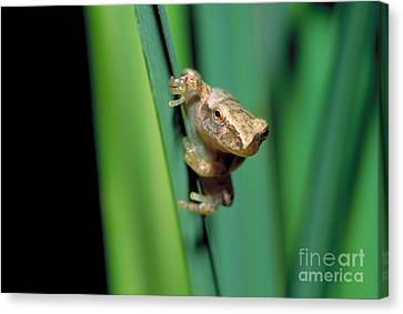 Spring Peeper Frog Canvas Print by Larry West