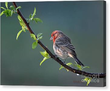 Song Bird In Spring Canvas Print by Nava Thompson