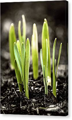 Spring Shoots Canvas Print by Elena Elisseeva