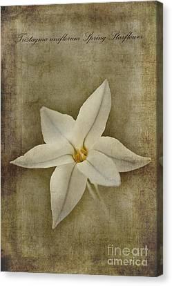 Spring Starflower Canvas Print by John Edwards
