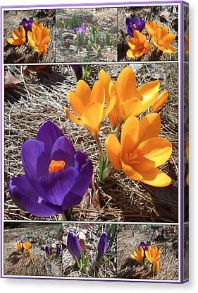 Spring Time Crocuses Canvas Print by Patricia Keller