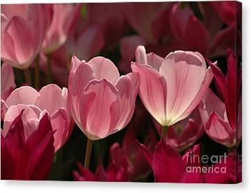 Spring Tulips Canvas Print by Kathleen Struckle