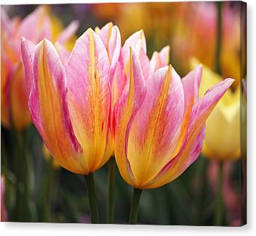Spring Tulips Canvas Print by Rona Black