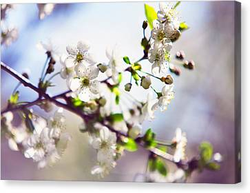 Spring White Cherry Tree  Canvas Print by Jenny Rainbow
