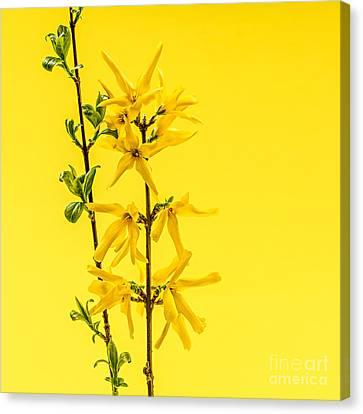 Spring Yellow Forsythia Canvas Print by Elena Elisseeva