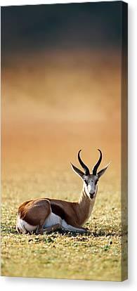 Springbok Resting On Green Desert Grass Canvas Print by Johan Swanepoel