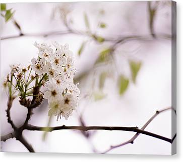 Springs Blossom  Canvas Print by Mike Lee
