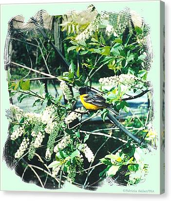Springtime Moments- Oriole With The Cherry Blossoms Canvas Print by Patricia Keller
