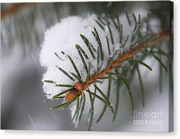 Spruce Branch With Snow Canvas Print by Elena Elisseeva