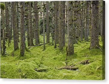 Spruce Forest & Moss Near Coast Kodiak Canvas Print by Kevin Smith