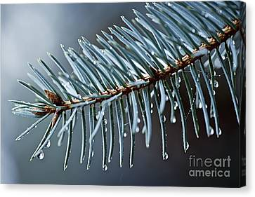 Spruce Needles With Water Drops Canvas Print by Elena Elisseeva