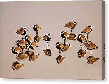 Spur-winged Lapwing (vanellus Spinosus) Canvas Print by Photostock-israel