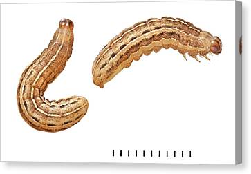 Square-spot Rustic Moth Larvae Canvas Print by Natural History Museum, London