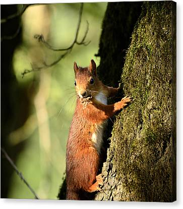 Squirrel On Tree  Posing Canvas Print by Toppart Sweden