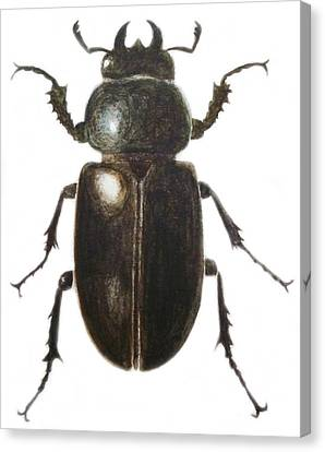 Stag Beetle Canvas Print by Ele Grafton