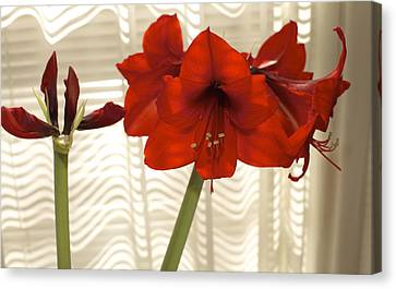 Stages Of Amaryllis Canvas Print by Jane Eleanor Nicholas